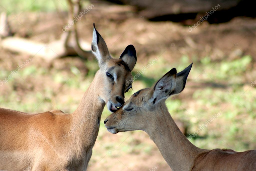Two Impala cubs showing affection to each other. — Stock Photo #10192873