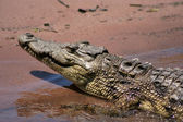 Nesting Nile Crocodile. — Stock Photo