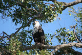 African Fish Eagle Juvenile — Stock Photo