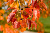 Red Autumn Leaves — Stockfoto