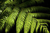 New Zealand fern — Stock Photo
