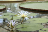 Amazon Water Lilly — Stock Photo