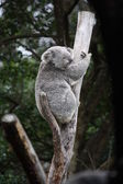 Koala sitting in a tree — Stock Photo