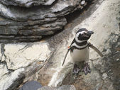 Penguin walkin down rock — Stock Photo