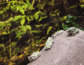 Four Frogs on the rock — Stock Photo