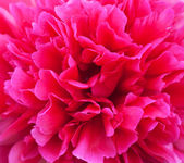 Peony close-up — Stock Photo