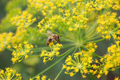 Bee on dill — Stock Photo