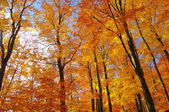 Beech forest in fall 35 — Stock Photo