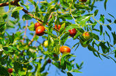 Jujube 05 — Stock Photo