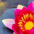 Stock Photo: Water lily 37