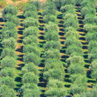 Stock Photo: Olive grove 38
