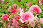 Rose 44 — Stock Photo