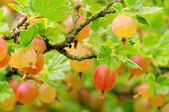 Gooseberry 02 — Stock Photo