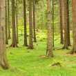 Stock Photo: Spruce forest 05