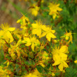 St Johns wort 09 — Stock Photo