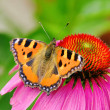 Stock Photo: Small Tortoiseshell on Purple Coneflower 01