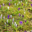Crocus 59 — Stock Photo