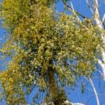 Mistletoe 12 — Stock Photo