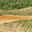 Stock Photo: Olive grove 34