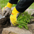 Stock Photo: Shrub planting 12
