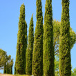 Tuscany cypress 01 — Stock Photo #10344850