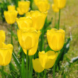 Tulip yellow 07 — Stock Photo