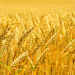 Royalty-Free Stock Photo: Wheat field 03