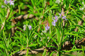Rosemary 17 — Stock Photo