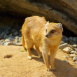 Royalty-Free Stock Photo: Yellow Mongoose 07