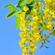 Royalty-Free Stock Photo: Laburnum 03