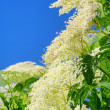 Elder flower 33 - Stock Photo