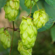 Hop plant 04 - Stock Photo