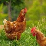 Chicken 01 — Stock Photo