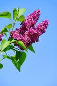 Lilac 02 — Stock Photo