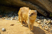 Yellow Mongoose 07 — Stockfoto