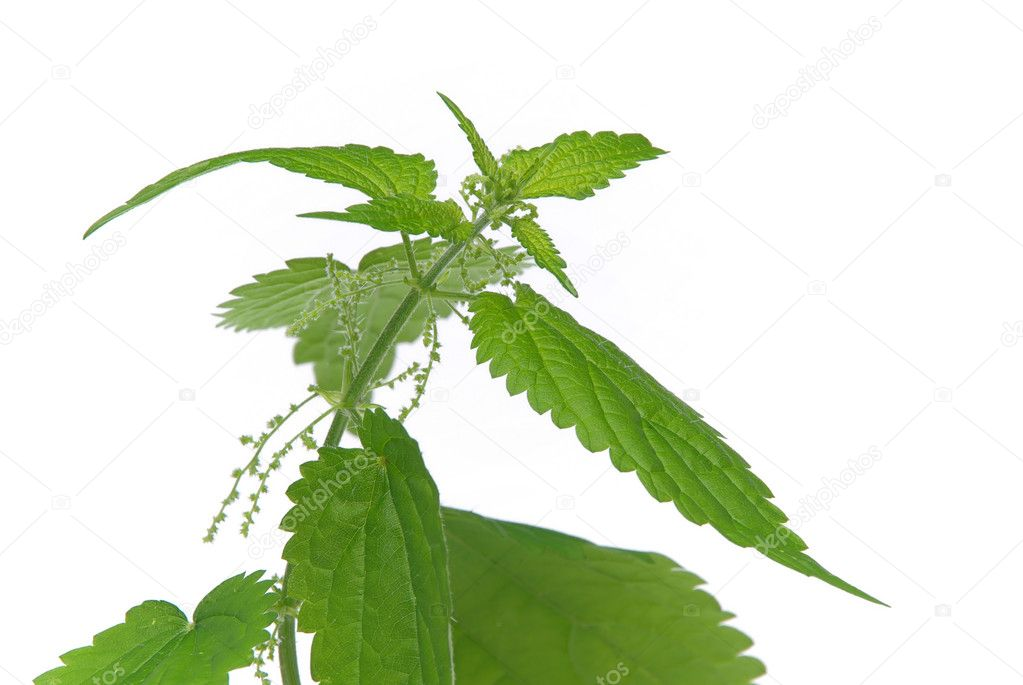Nettle 06  Stock Photo #10365503