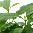 Coffee plant 01 - Stock Photo