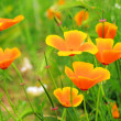 Stock Photo: Californipoppy 29
