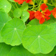 Tropaeolum 04 — Stock Photo