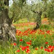 Stock Photo: Corn poppy in olive grove 04