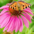 Stock Photo: Small Tortoiseshell on Purple Coneflower 02