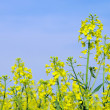 Stock Photo: Rapeseed 46