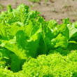 Leaf lettuce in garden 01 — Stock Photo