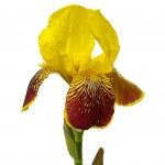 Iris isolated 01 — Stock Photo