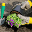 Stock Photo: Shrub planting 16