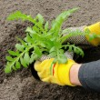 Stock Photo: Shrub planting 19
