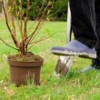 Stock Photo: Planting shrub 06
