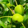 Stock Photo: Walnut tree 03