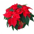 Poinsettia 05 — Stock Photo #10375202