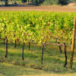 Foto de Stock  : Vineyard 27